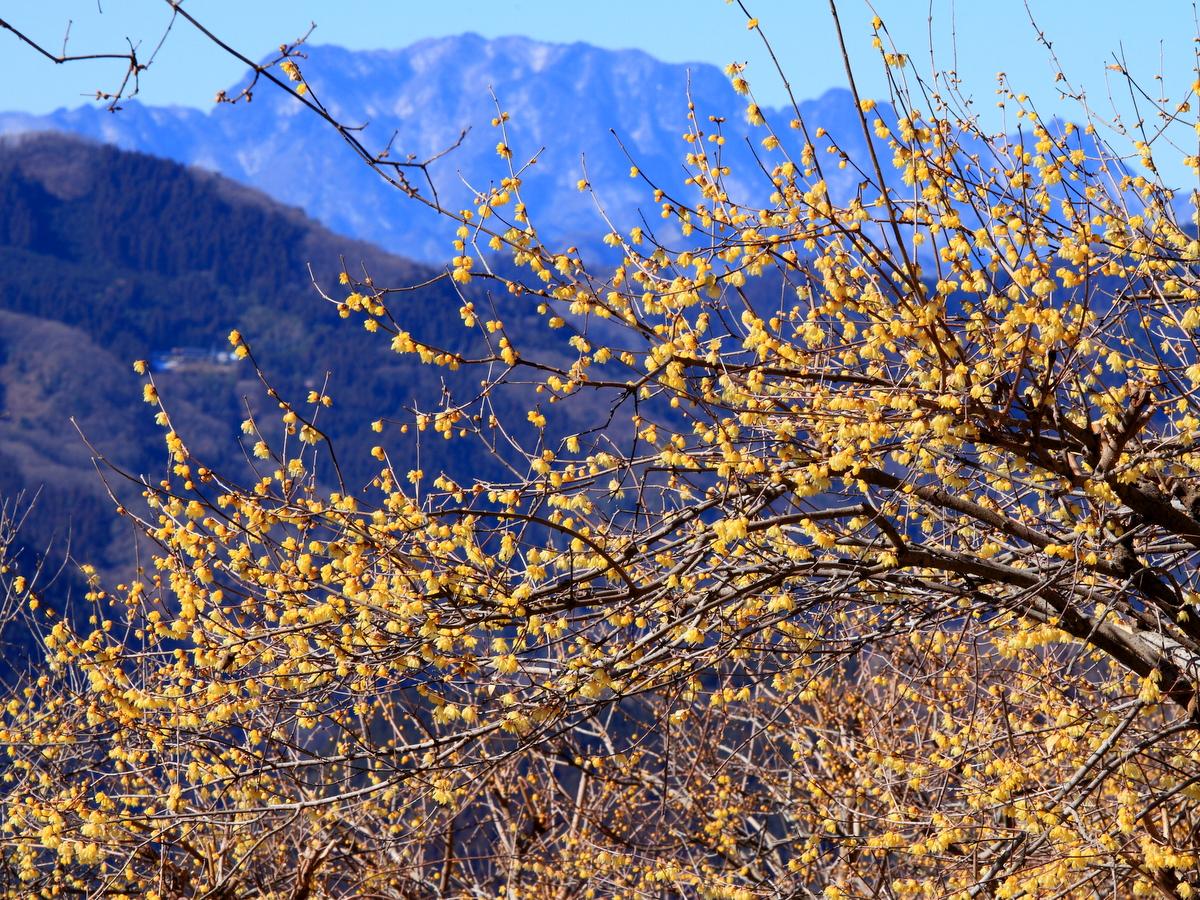 輝くロウバイと雪化粧の両神山