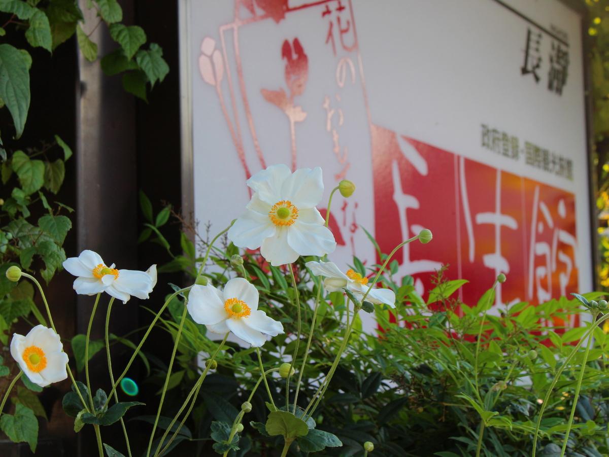 駐車場と花水木道に咲く秋明菊は長生館のテーマフラワーです。