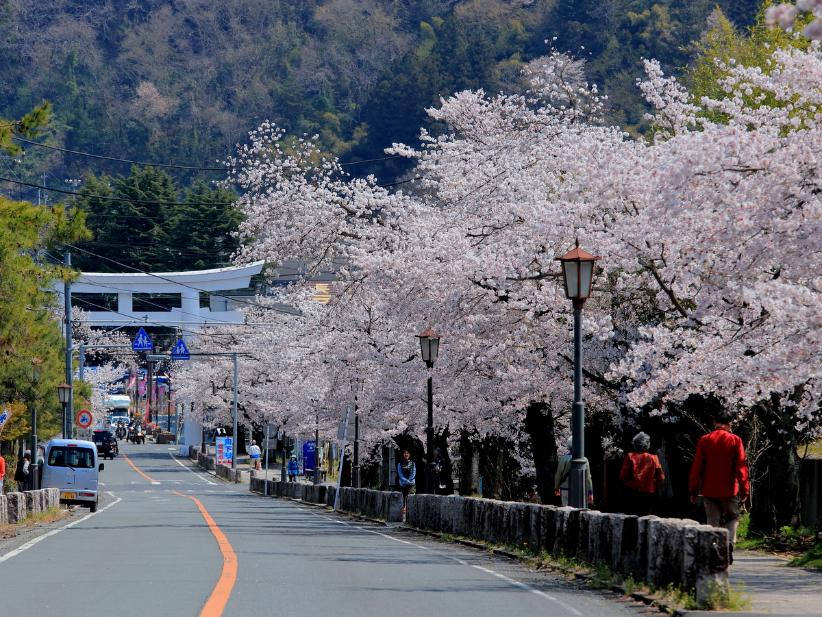 駅前交差点の鳥居から始まる桜並木