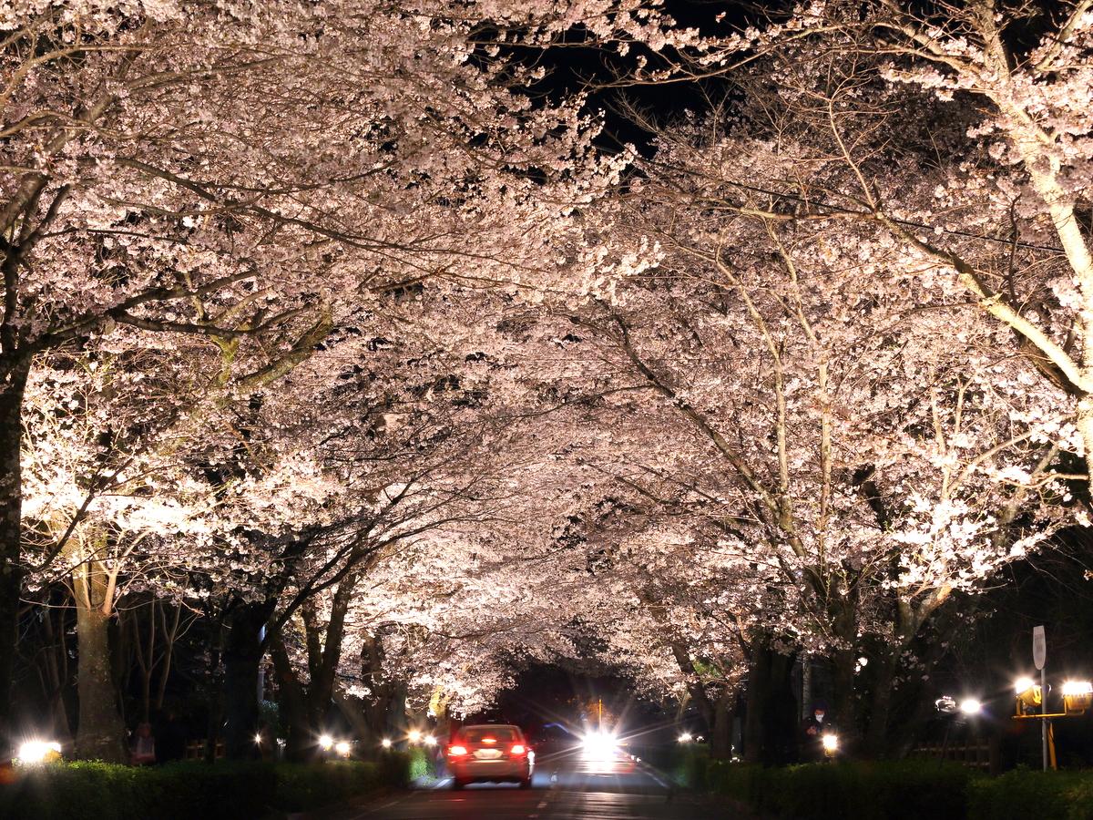 北桜通りの一部はライトアップも!