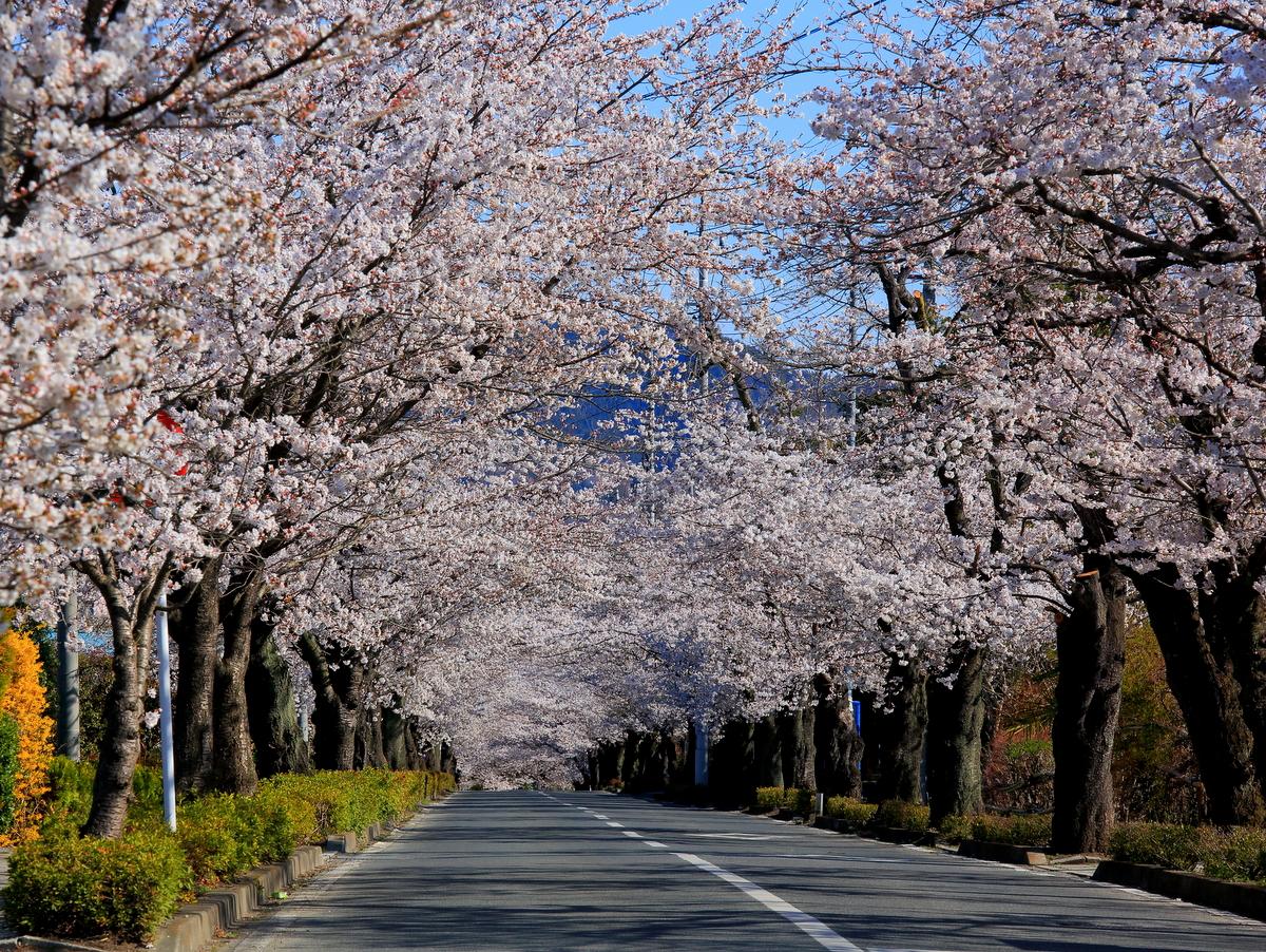 まさに桜のトンネル♪