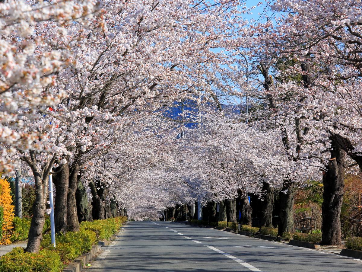 長瀞桜まつり