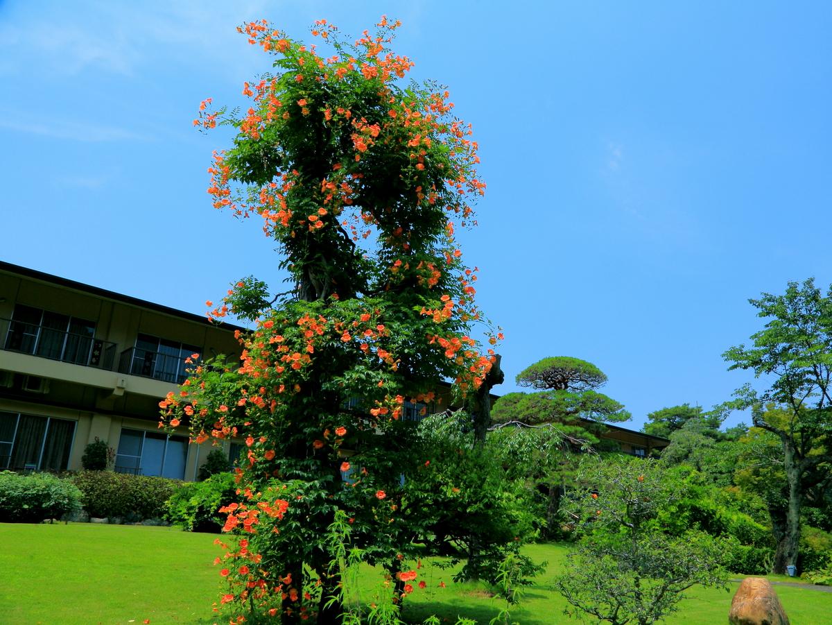 【夏】ノウゼンカズラは庭園と花水木道に咲きます。
