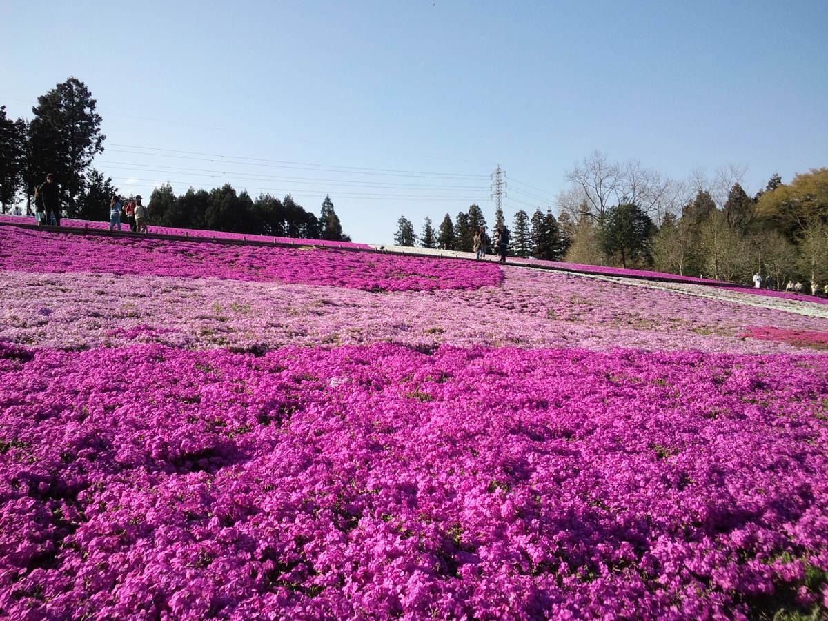 ハート型の芝桜も見つけてみてください♪