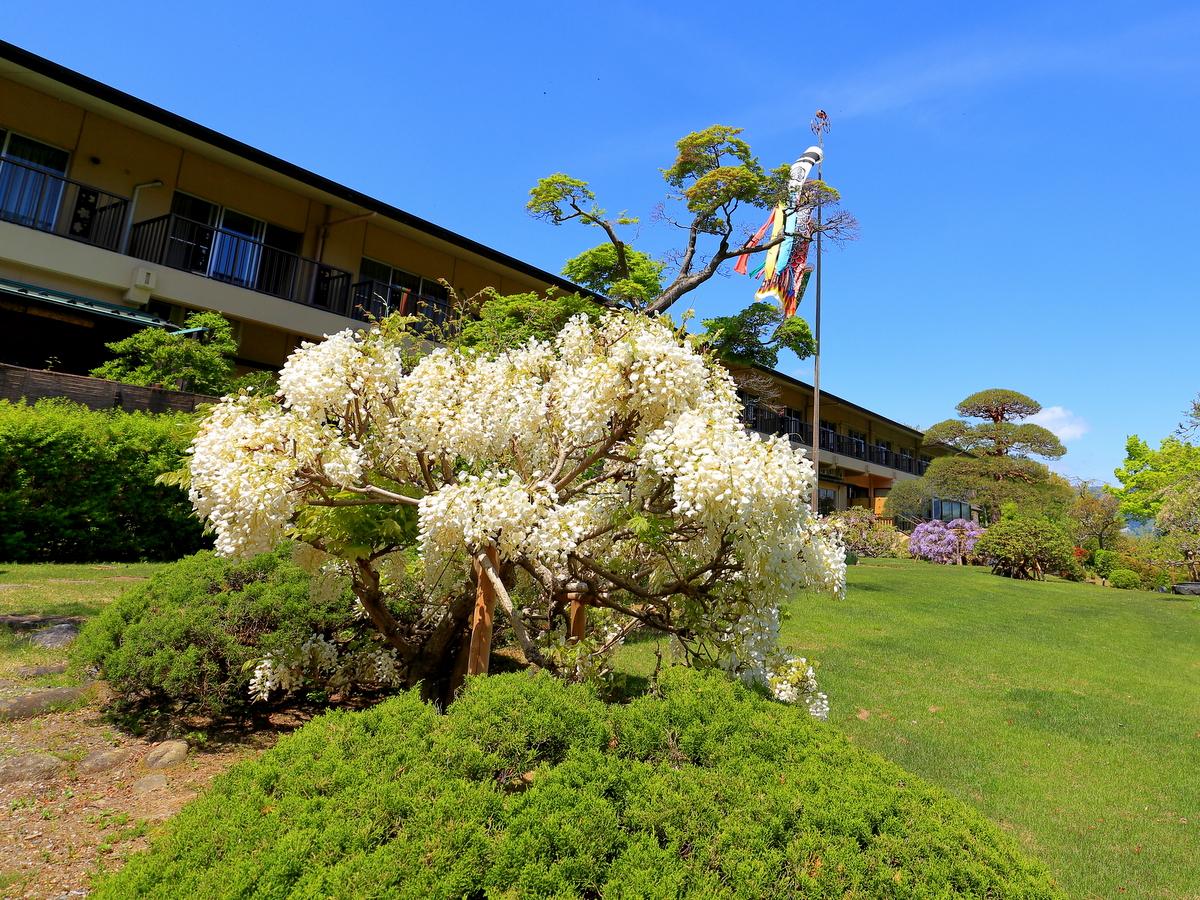 【春】鯉のぼりの季節、白藤も咲きます。