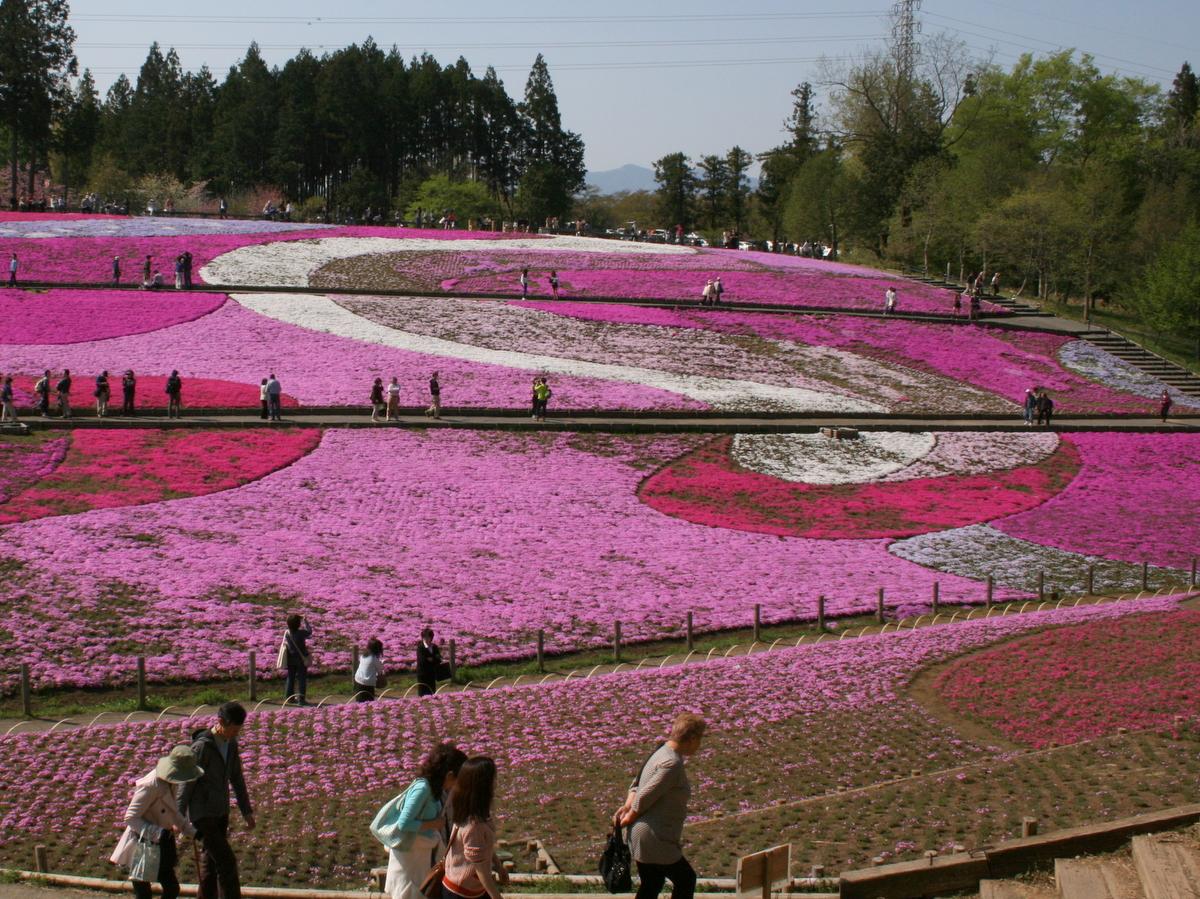 丘の形状にあわせて芝桜が植えられています。