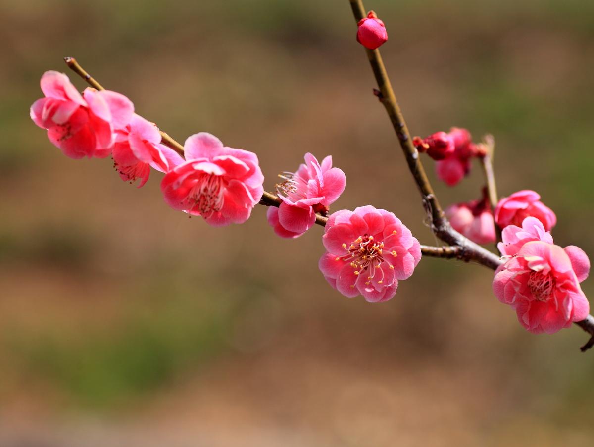 梅が綺麗に咲いています。