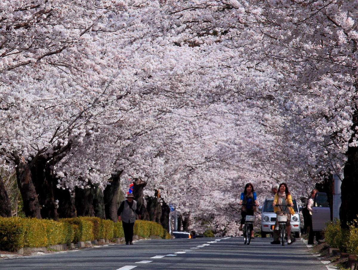 北桜通り「桜のトンネル」