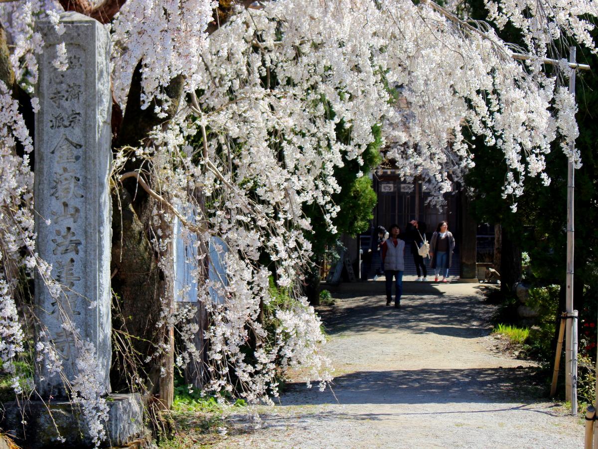 本堂へ向かう参道に垂れ下がる桜。