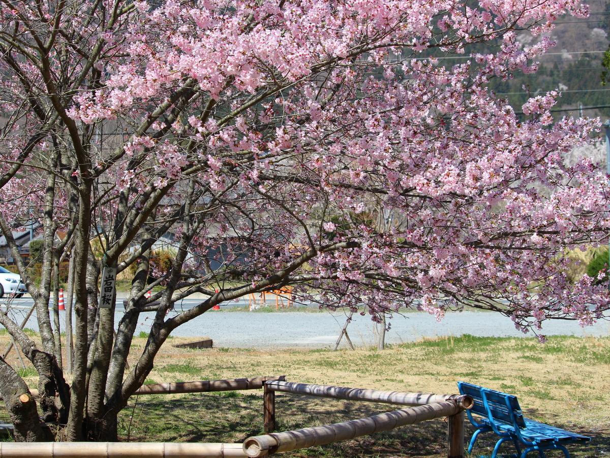 昼の岩田桜